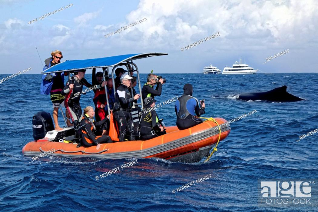Stock Photo: Diving, whale watcher watching humpback whale from rubber raft (Megaptera novaeangliae), Silver Bank, Silver and Navidad Bank Sanctuary, Atlantic Ocean.