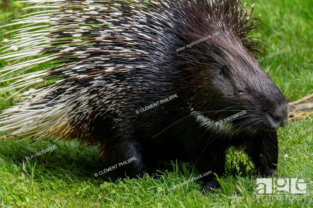 Imagen: Crested porcupine (Hystrix cristata) native to Italy, North Africa and sub-Saharan Africa.
