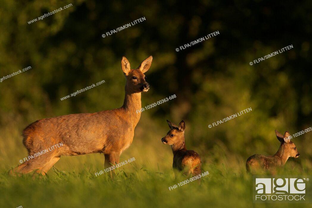 Stock Photo: Western Roe Deer (Capreolus capreolus) doe with fawns, standing in field, Norfolk, England, June.