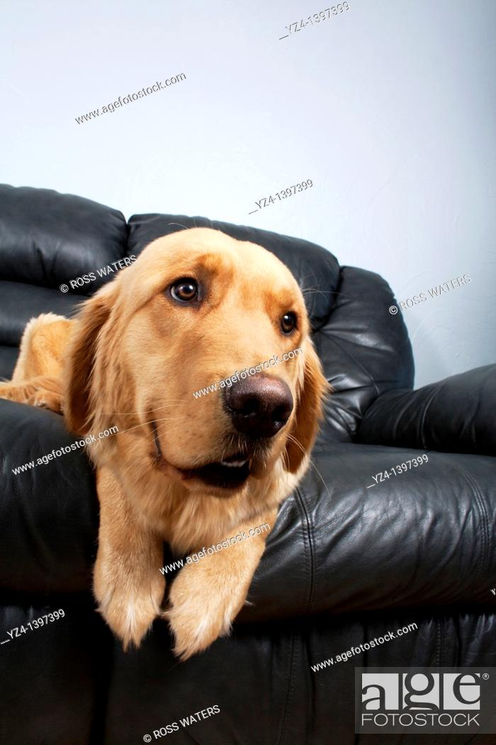 Stock Photo: A Golden Retriever on a black leather couch indoors, unusual angle.