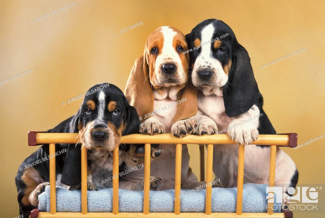 Stock Photo: Basset Hound. Three puppies sitting next to each other in a handcart. Germany.