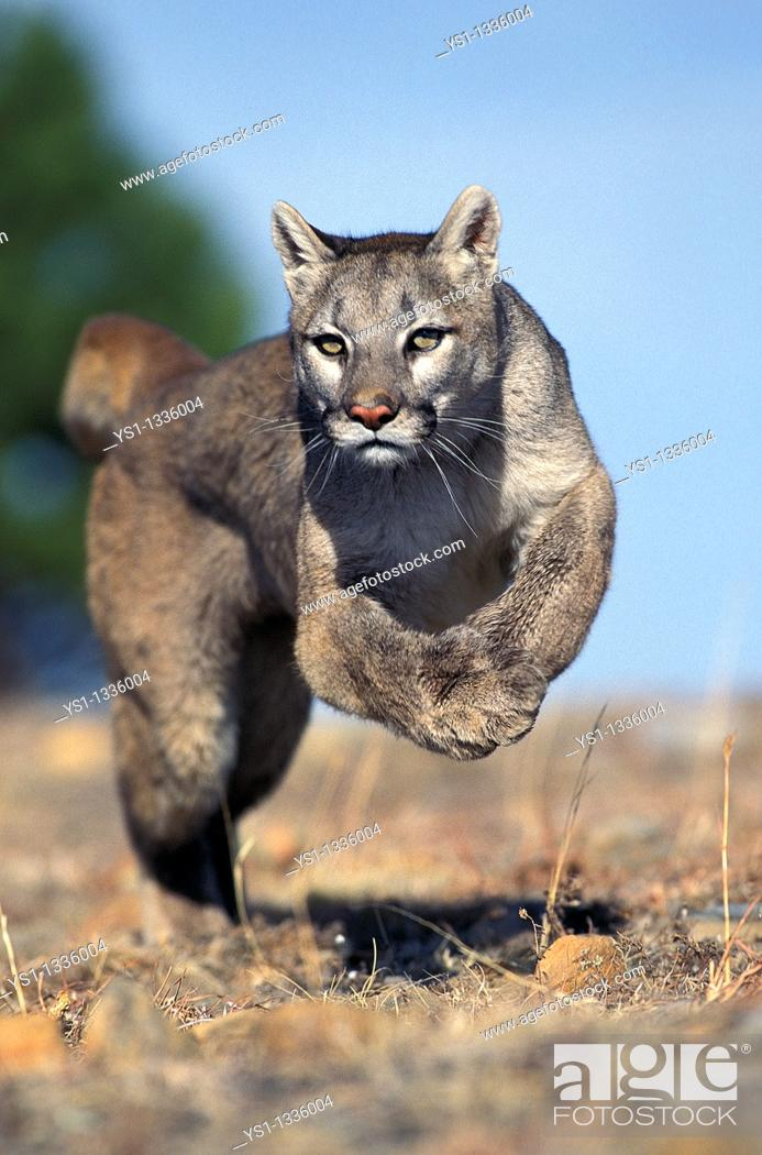 Stock Photo: COUGAR puma concolor, ADULT RUNNING, MONTANA.