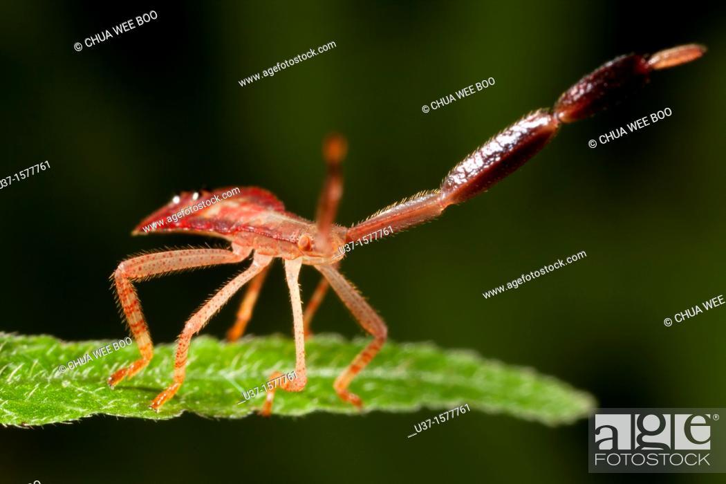 Stock Photo: Bug fam. Coreidae nymph found at Kampung Skudup, Sarawak, Borneo.
