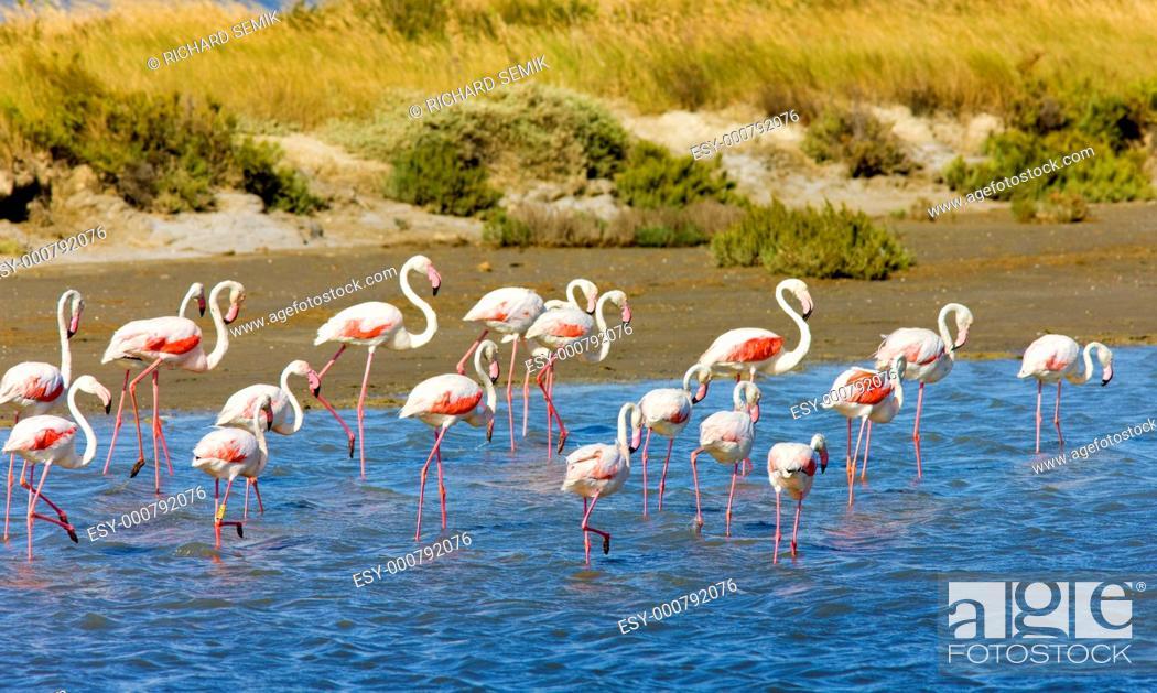 Stock Photo: flamingos, Parc Regional de Camargue, Provence, France.