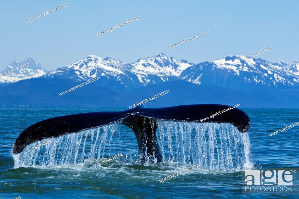 Stock Photo: Humpback Whale fluking in Lynn Canal with Chilkat Mountains in the distance, Inside Passage, Southeast Alaska, Summer.