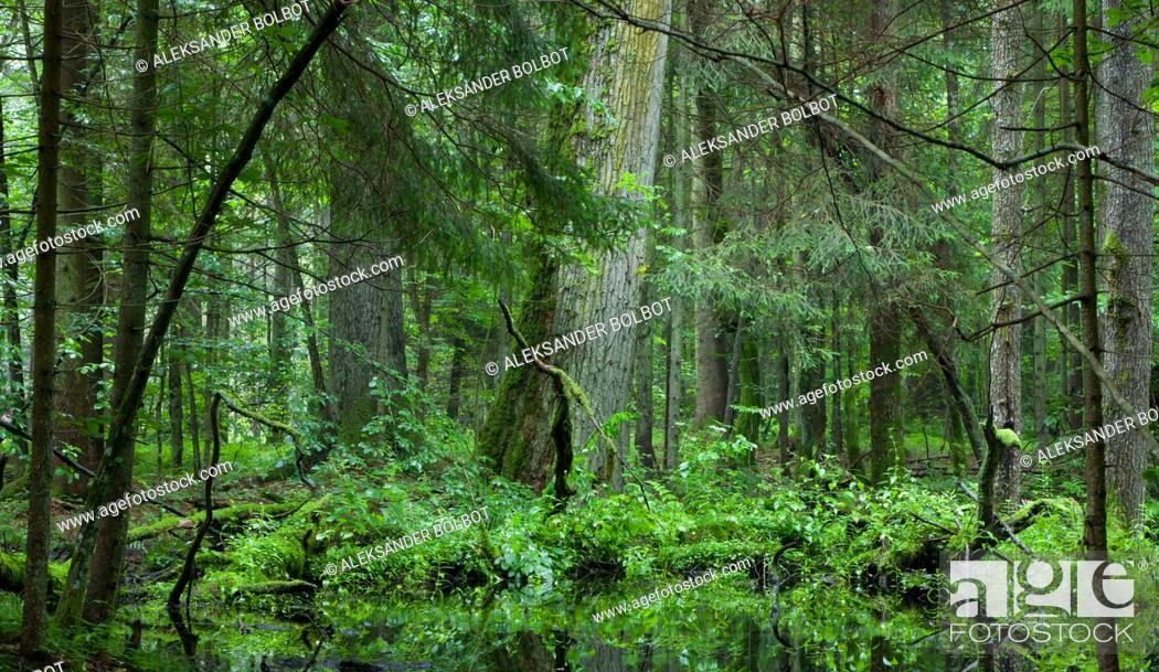 Stock Photo: Deciduous stand of Bialowieza Forest in springtime rain after with old oak and spruce in background, Bialowieza forest, Poland, Europe.