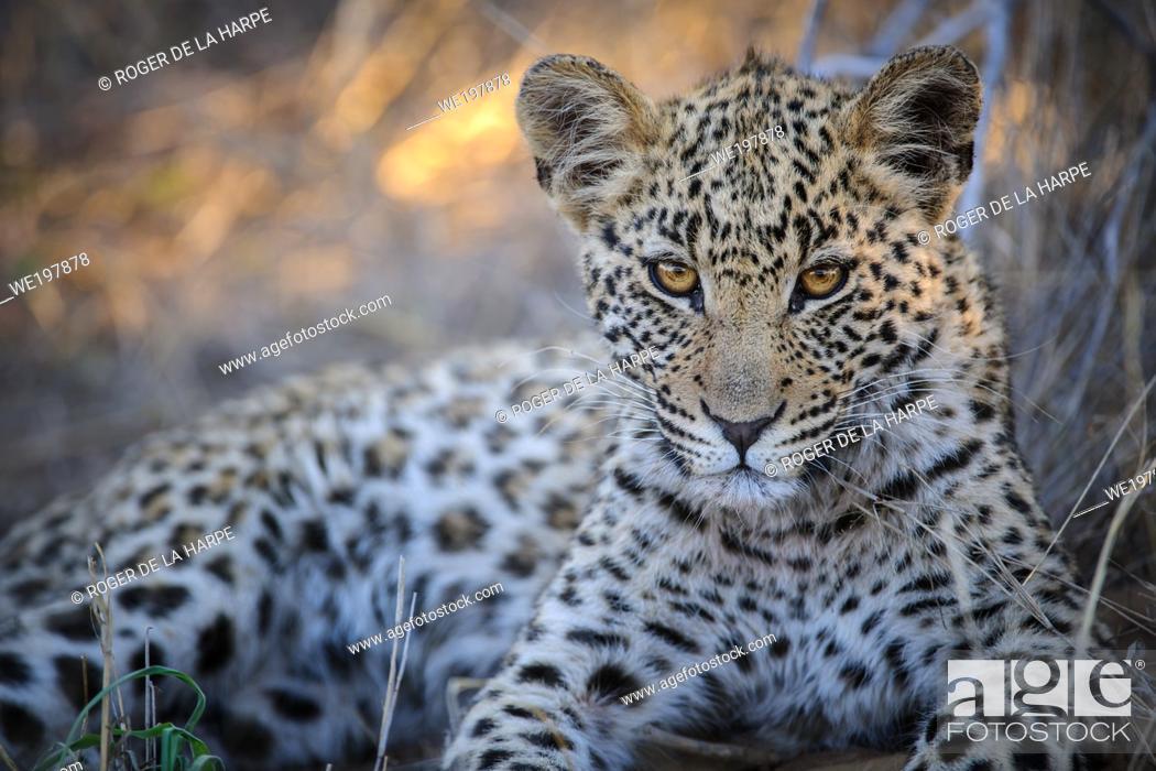 Stock Photo: Leopard (Panthera pardus) juvenile (cub) with the most beautiful eyes. Central Kalahari. Botswana.
