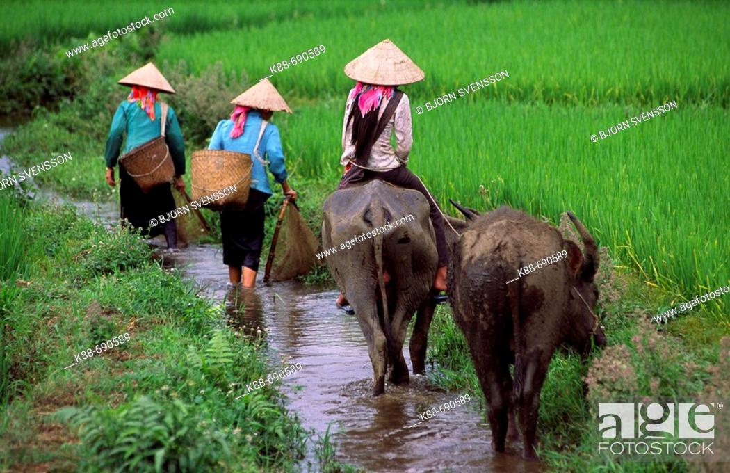 Stock Photo: Women with water buffaloes, Binh Lu, Lai Chau Province, Vietnam.