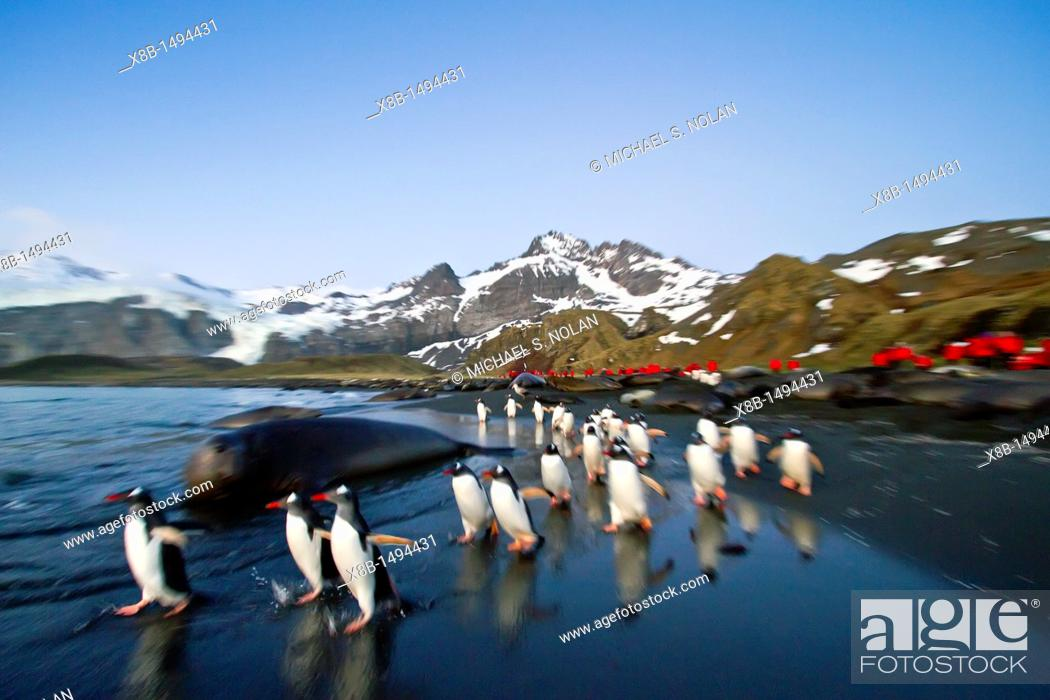 Imagen: Gentoo penguins Pygoscelis papua returning to the sea to feed at Gold Harbor on South Georgia, Southern Ocean  MORE INFO The gentoo penguin is the third largest.