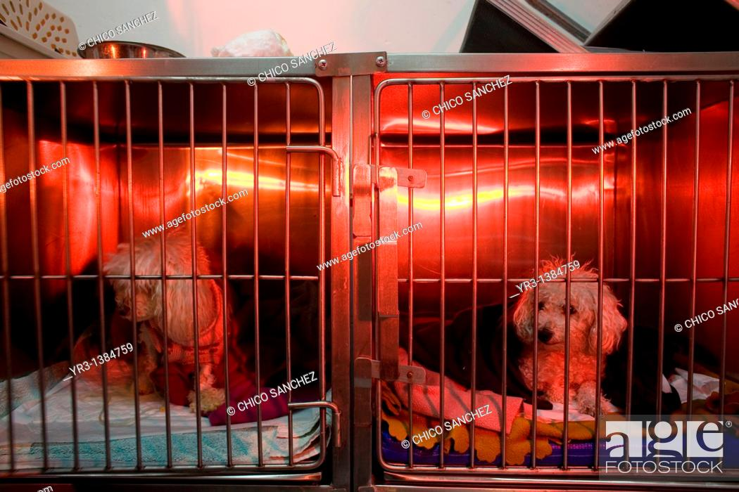 Stock Photo: Dogs are warmed using a red lamp as he recovers from an illness at a Pet Hospital in Condesa, Mexico City, Mexico, February 4, 2011.