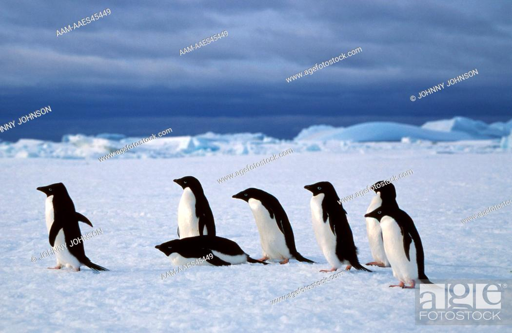 Stock Photo: Adelie Penguins Travel over fast ice (Pygoscelis adeliae) Antarctica, Gardner Island.