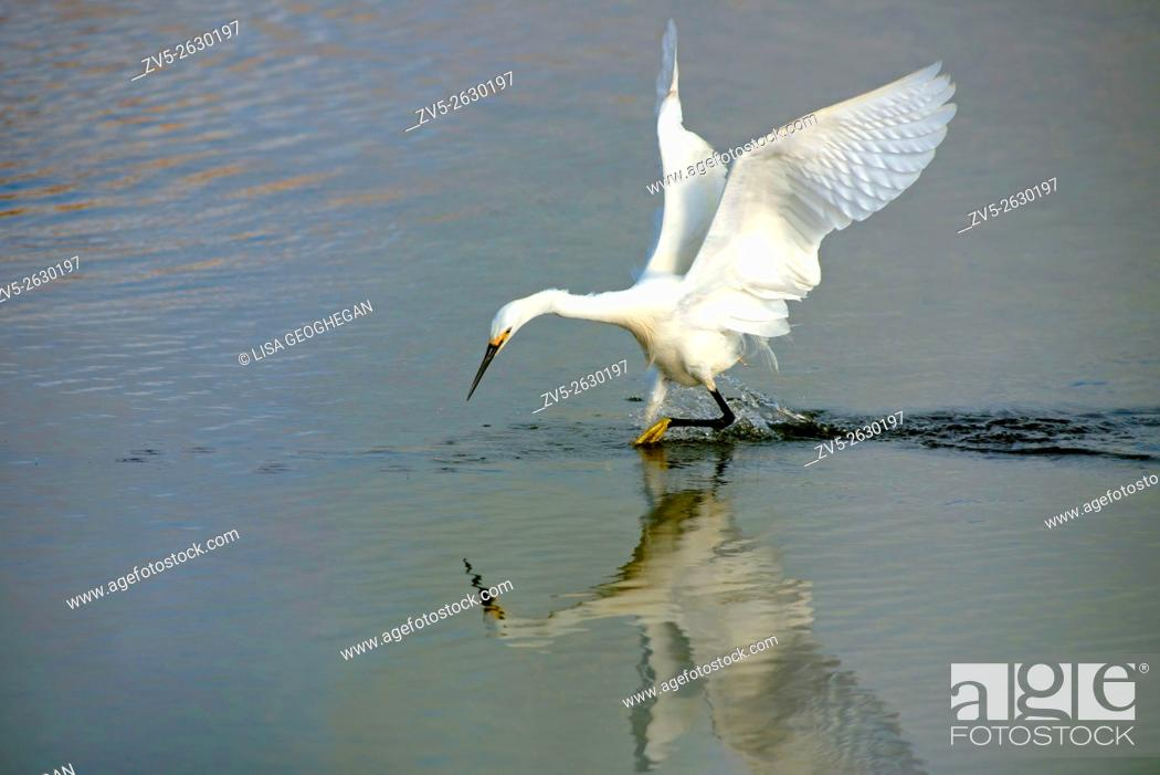 Stock Photo: Little Egret- Egretta garzetta foraging for food. Spring. Uk.