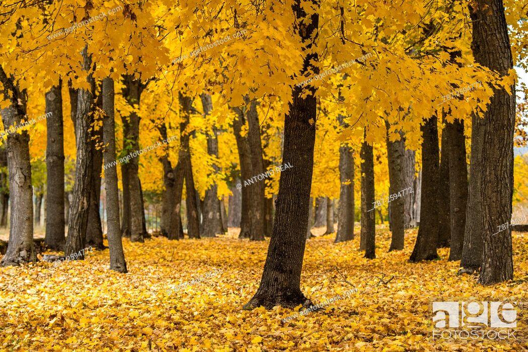 Stock Photo: Yellow coloured maples (Acer sp.). Uña, Parque Natural de la Serranía de Cuenca, Cuenca province, Spain.