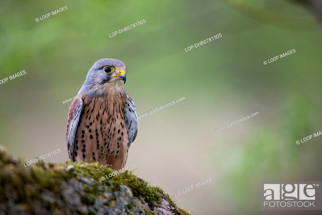 A Kestrel On The Large Branch Of Tree Stock Photo Picture And