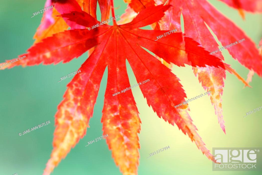 Stock Photo: acer palmatum matsumurae sunlight looking through striking red autumn leaves.