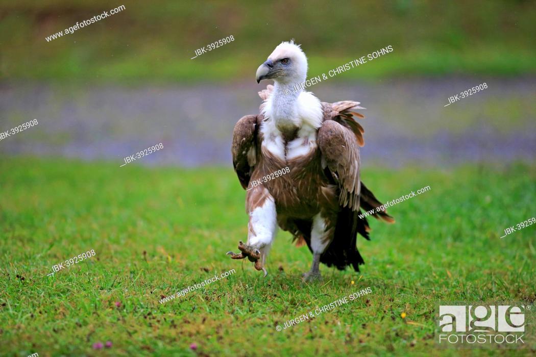Stock Photo: Eurasian Griffon or Griffon Vulture (Gyps fulvus), adult, walking across a meadow, Europe.