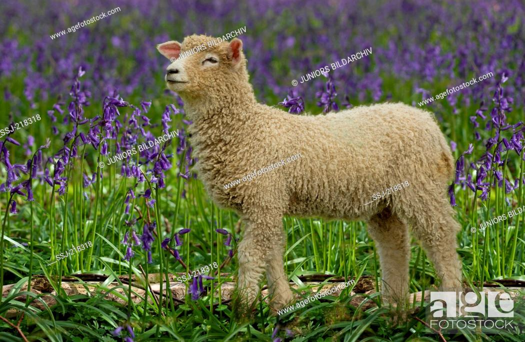 Stock Photo: Cotswold Sheep. Lamb standing on a pasture with flowering Harebells in background. England.
