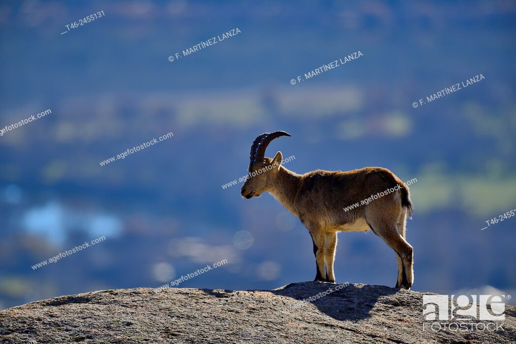 Stock Photo: Spanish ibex (Capra pyrenaica). La Pedriza, Parque Regional de la Cuenca Alta del Manzanares, Madrid province, Spain.