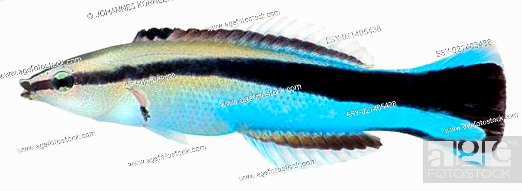 Stock Photo: Cleaner Wrasse fish. Labroides Dimidiatus.