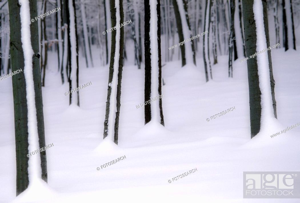 Stock Photo: winterwald, austria, blanket of snow, calf, cold, december, drifted.