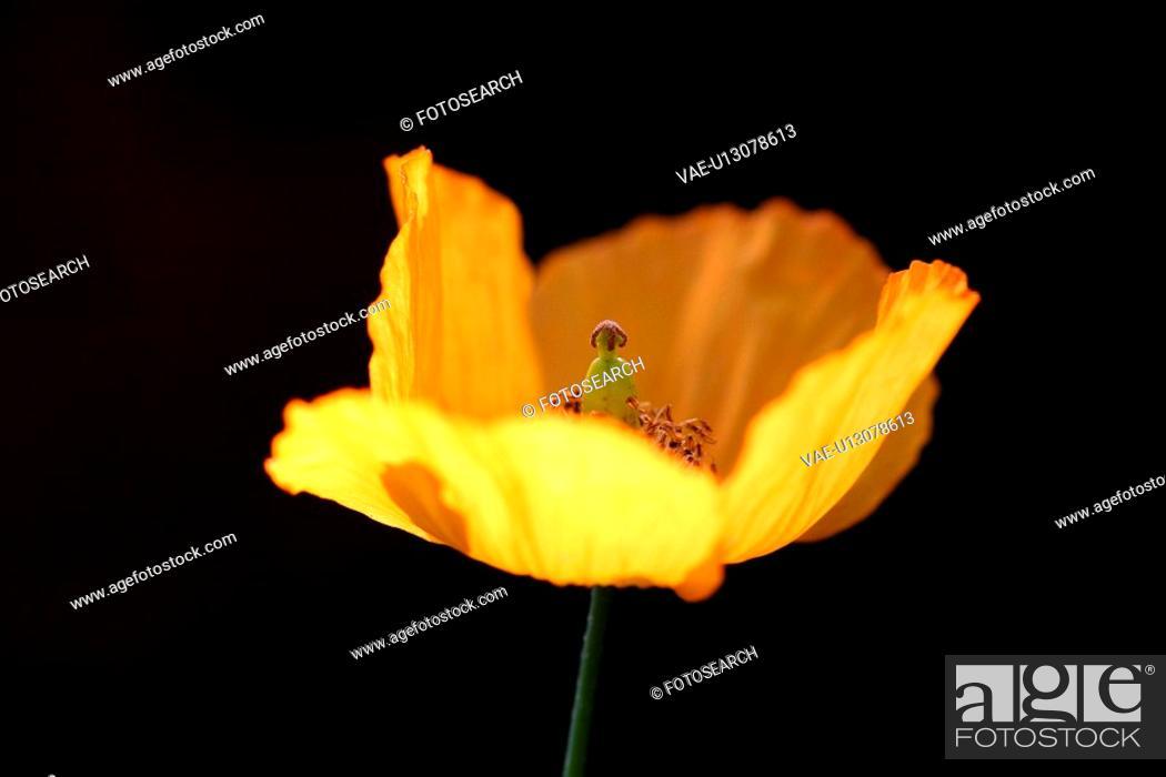 Stock Photo: CLOSE, black, burkhard, blossom, bloom, abloom.