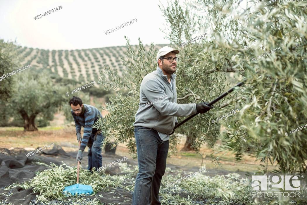 Stock Photo: Spain, two men harvesting olives.