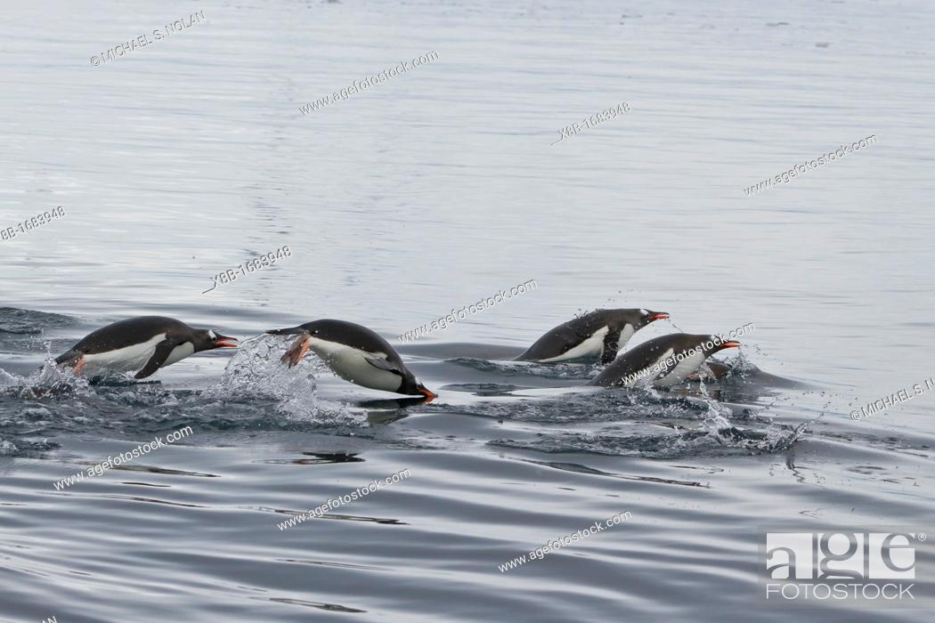 Imagen: Adult gentoo penguins Pygoscelis papua porpoising for swimming speed near the Antarctic Peninsula, Southern Ocean.
