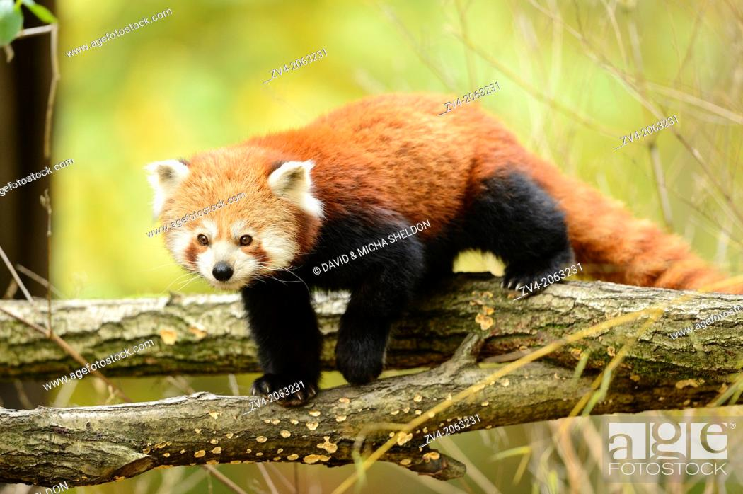 Stock Photo: Close-up of a red panda (Ailurus fulgens) in a forest in autumn.
