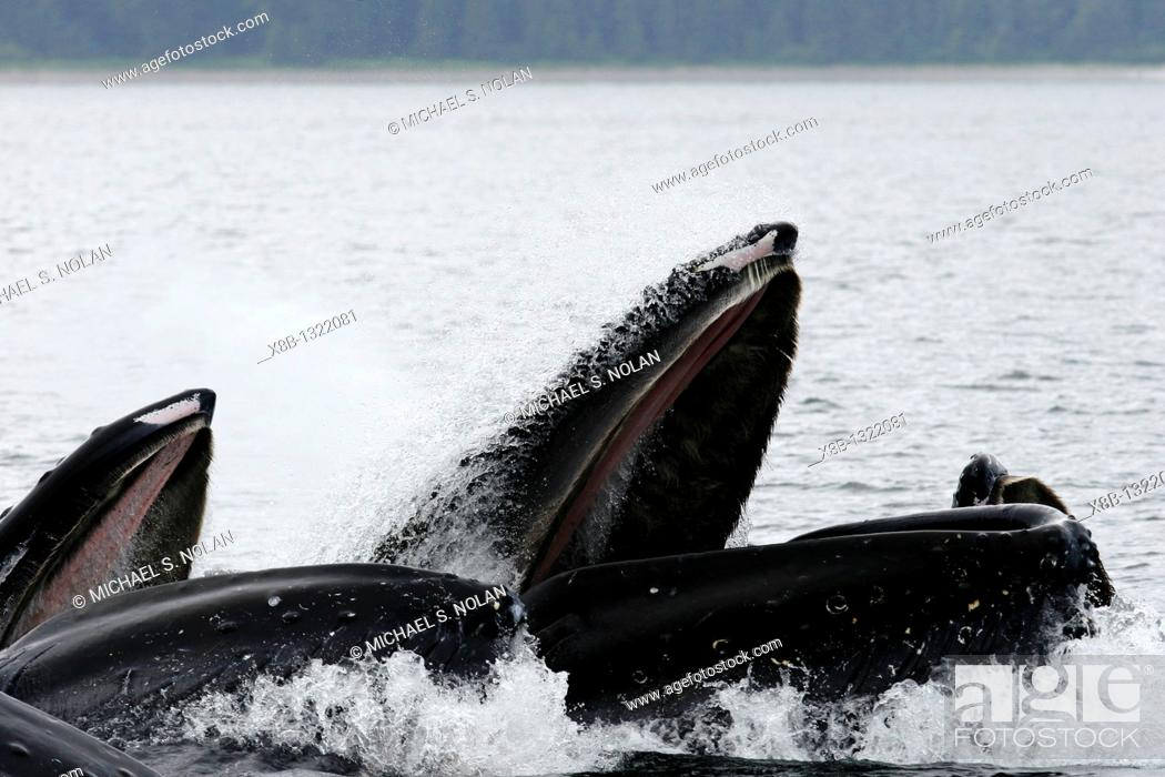 Stock Photo: Close up view of adult humpback whales Megaptera novaeangliae cooperatively bubble-net feeding near Freshwater Bay on Chichagof Island in Southeast Alaska.