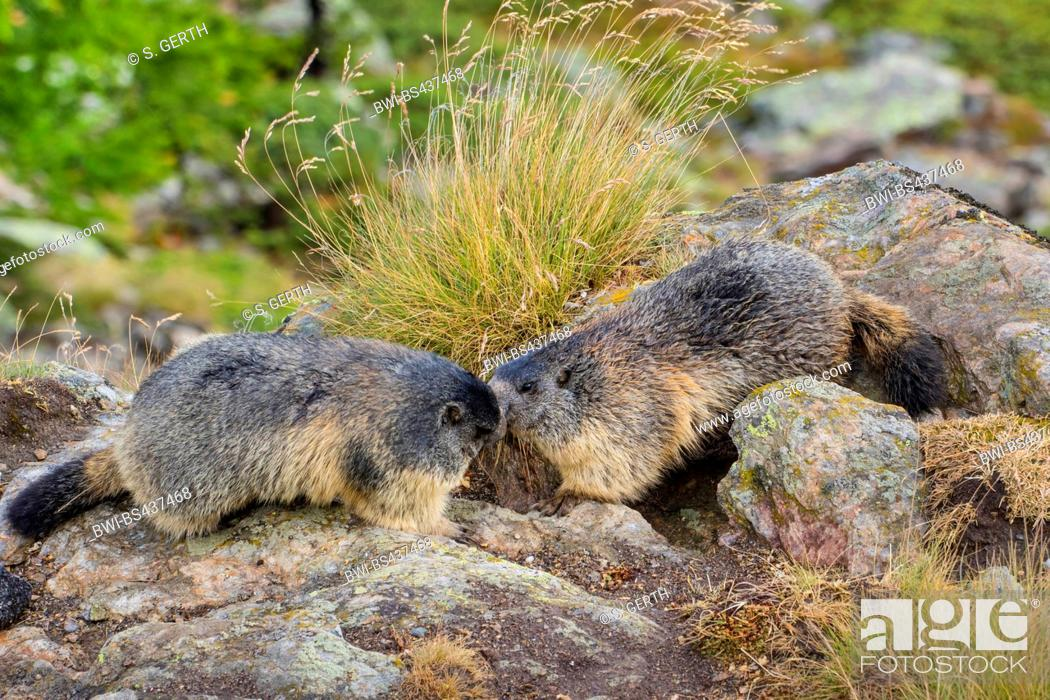 Stock Photo: alpine marmot (Marmota marmota), two marmots saying welcome in front of the dens, Switzerland, Valais.