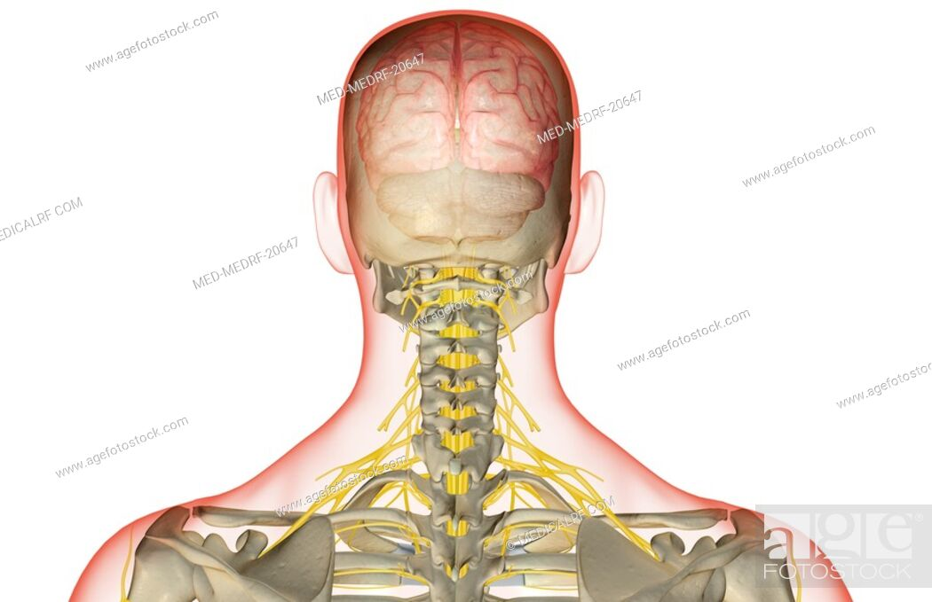 Stock Photo: The nerve supply of the head and neck.