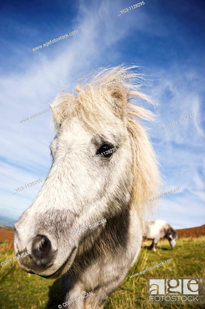 Stock Photo: Welsh mountain pony, Brecon Beacons national park, Wales.