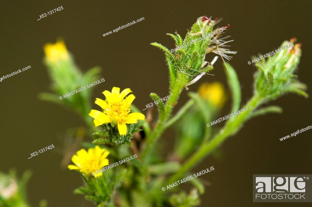 Imagen: Stinkweed or stinkwort - Dittrichia graveolens, Crete.