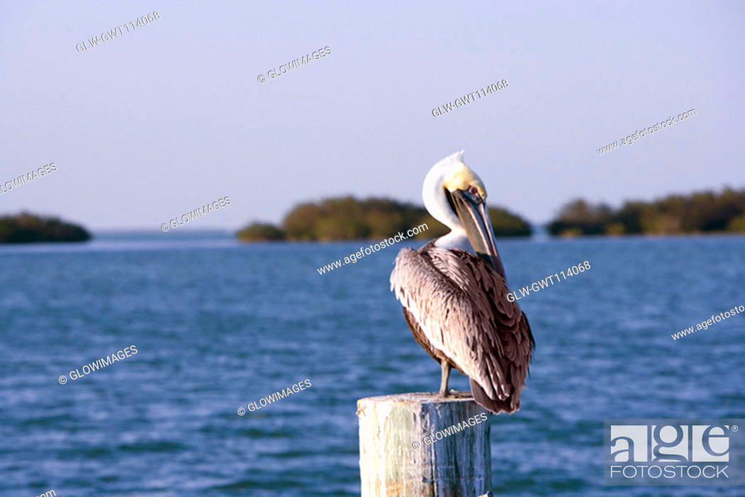 Stock Photo: Close-up of a Brown Pelican perching on a wooden post.