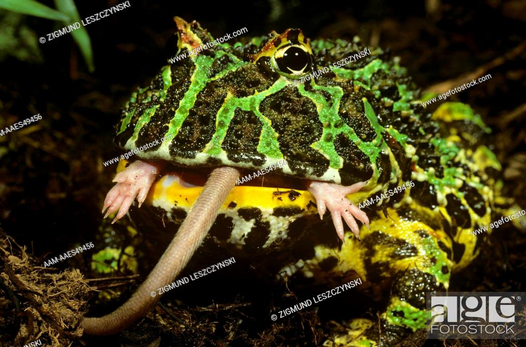 South American Horned Frog Eating Mouse Ceratophrys Ornata Stock
