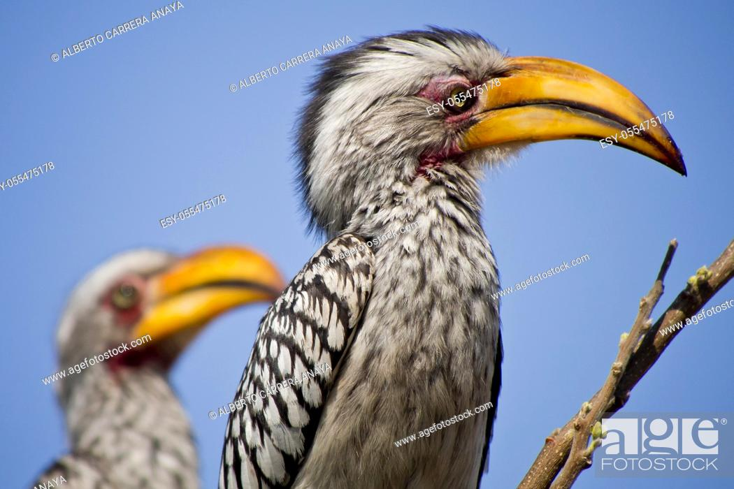 Stock Photo: Redbilled hornbill, Tockus flavirostris, Chobe National Park, Botswana, Africa.