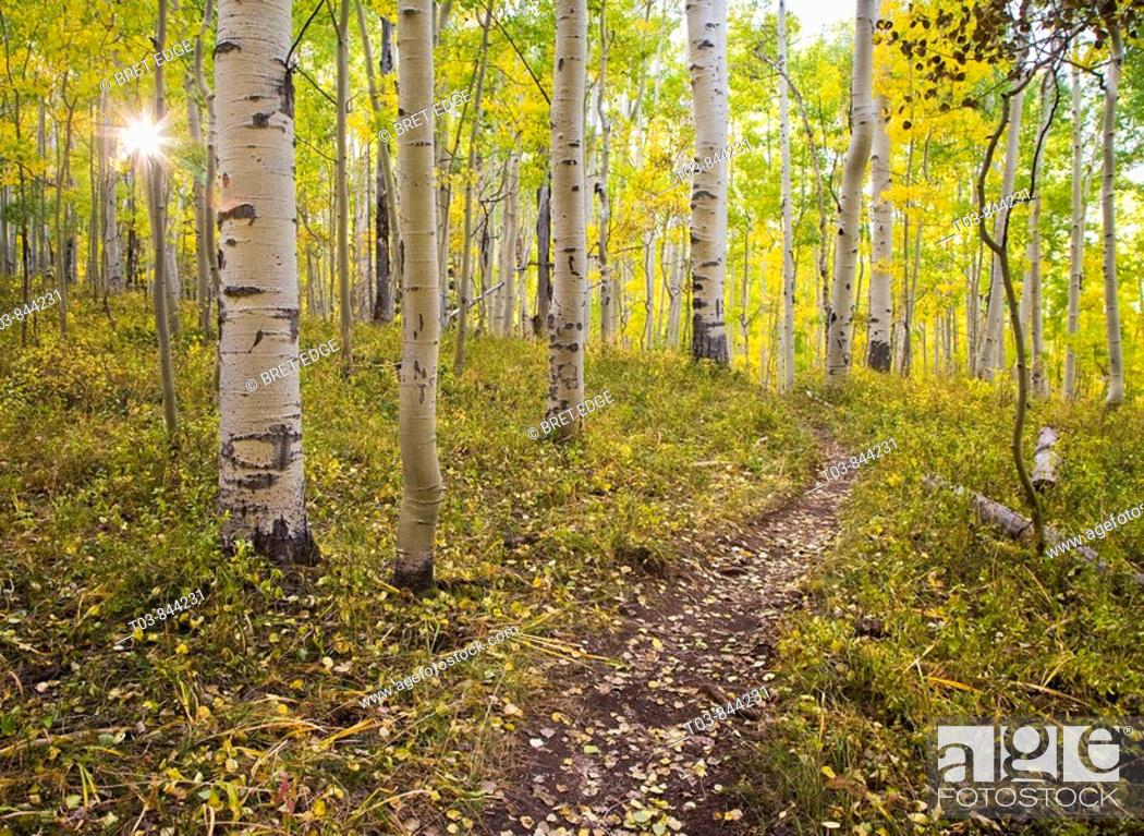 Stock Photo: A aspen leaf covered trail winds through golden foliage on the way to Clark Lake and Bowen Mesa in the La Sal mountains near Moab, Utah.