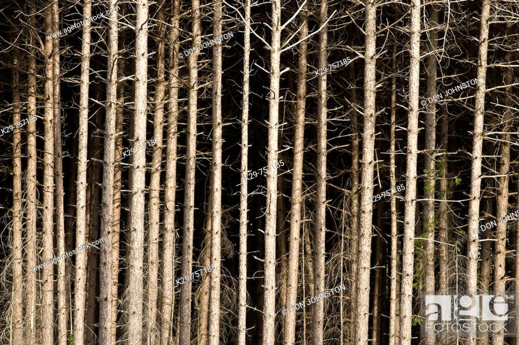 Stock Photo: Red pine tree trunks.