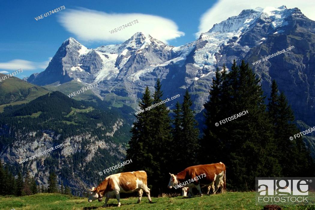 Stock Photo: A Cow And A Mountain.