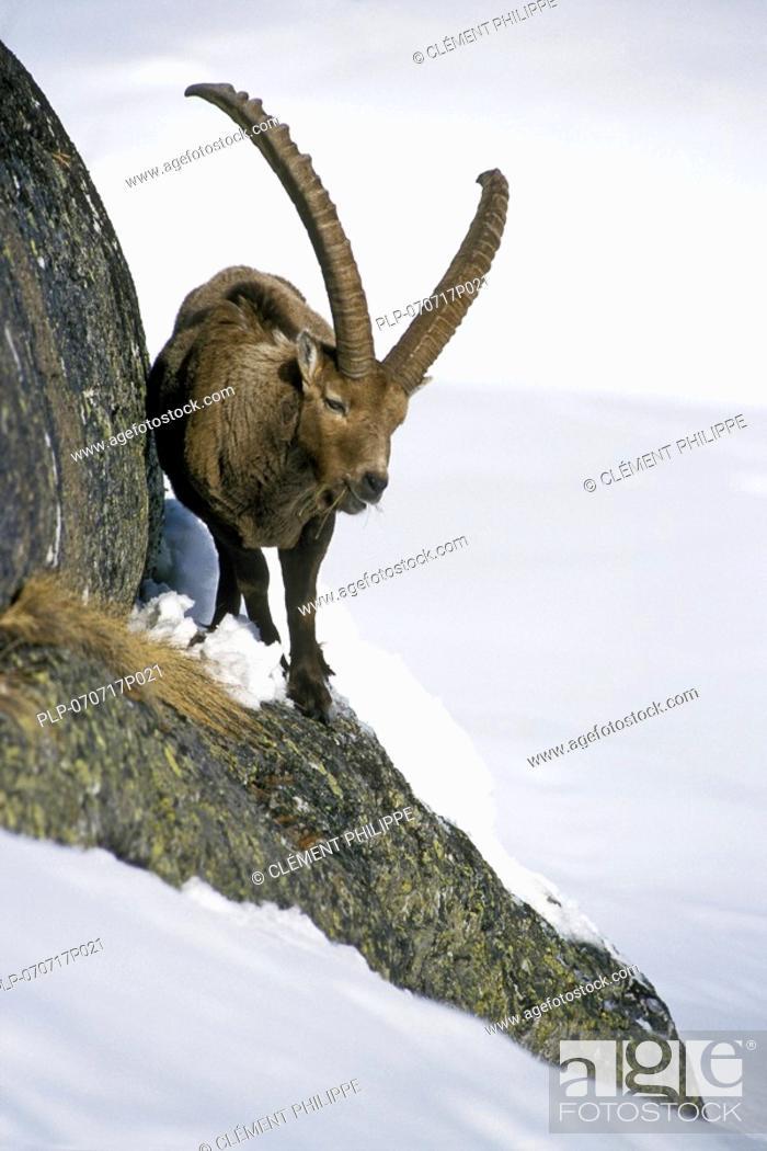 Stock Photo: Alpine ibex Capra ibex feeding in rock face in winter, Gran Paradiso NP, Italy.