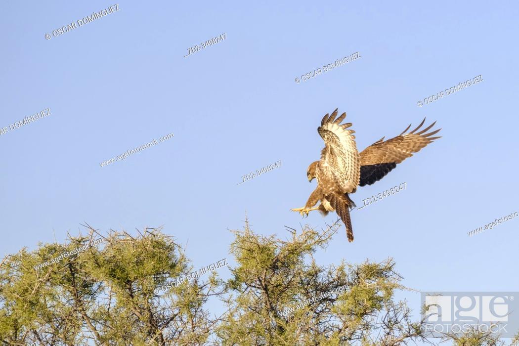 Imagen: Eurasian Buzzard (Buteo buteo) landing on tree. Lleida province. Catalonia. Spain.