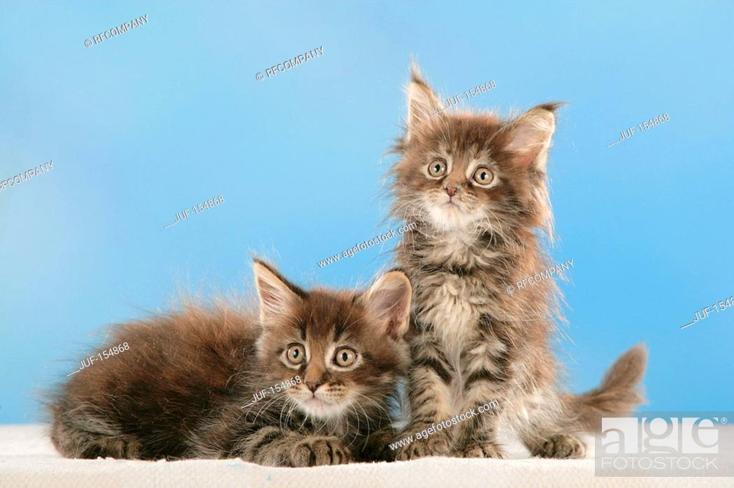 Stock Photo: Maine Coon cat - two kittens - cut out.