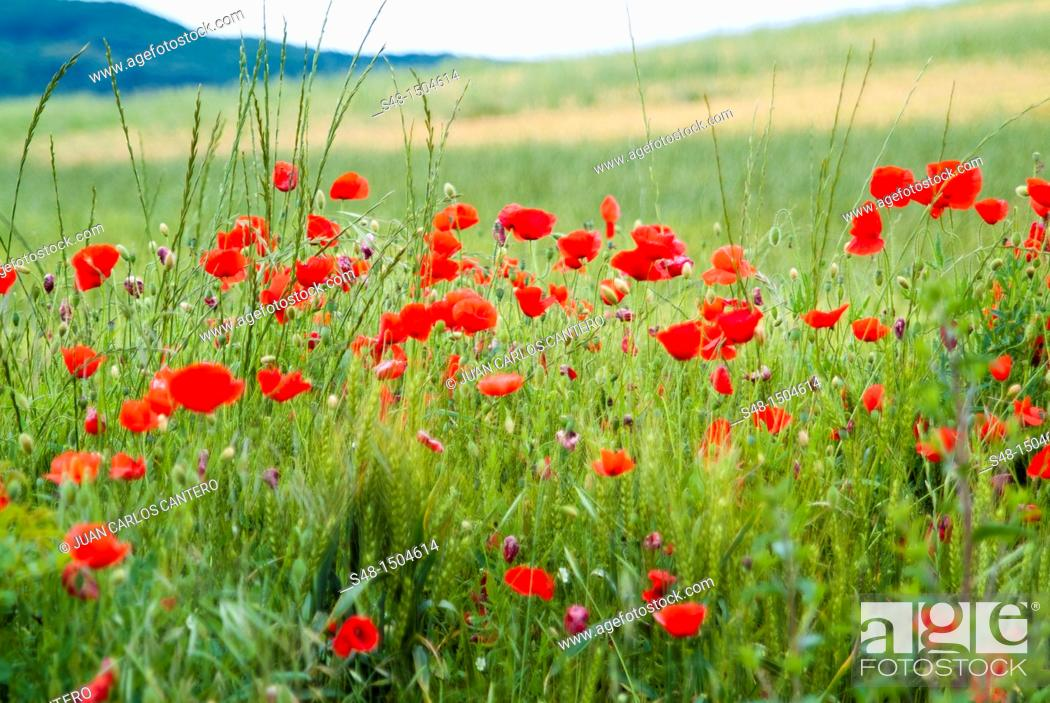 Stock Photo: Poppies in a wheat field in La Rioja. Spain. Europe.