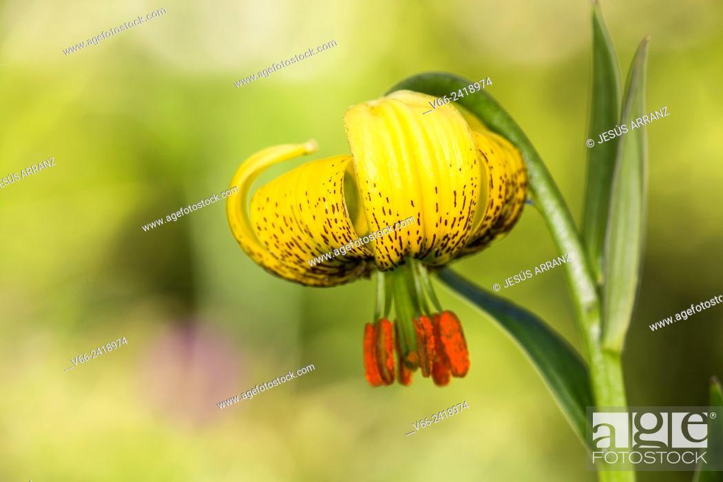 Imagen: Azucena de los Pirineos (Flor de Lis).