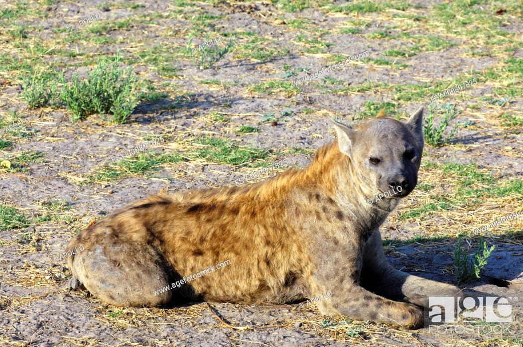 Stock Photo: Peering Spotted Hyena or Laughing Hyena Crocuta crocuta, Moremi National Park, Botswana.