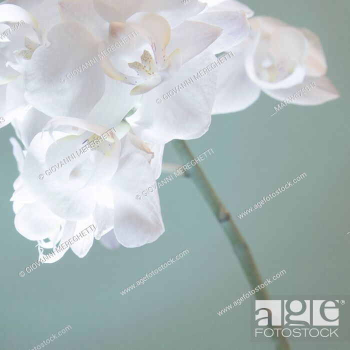 Stock Photo: orchidee.