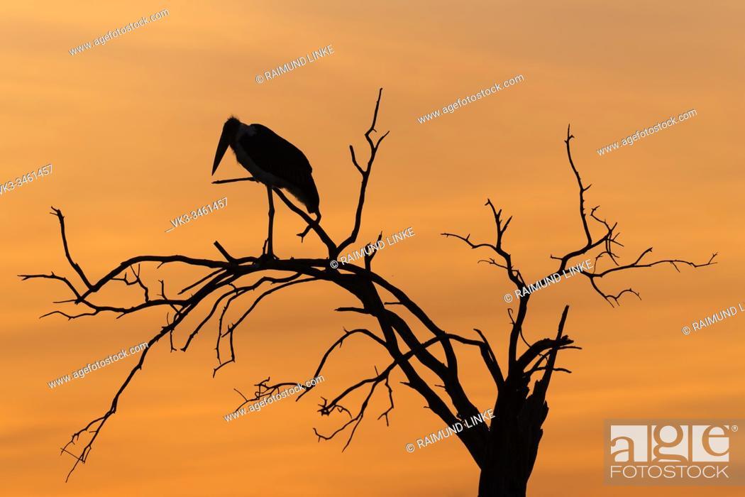 Imagen: Marabu stork, Leptoptilos crumeniferus, at sunset, Masai Mara National Reserve, Kenya, Africa.