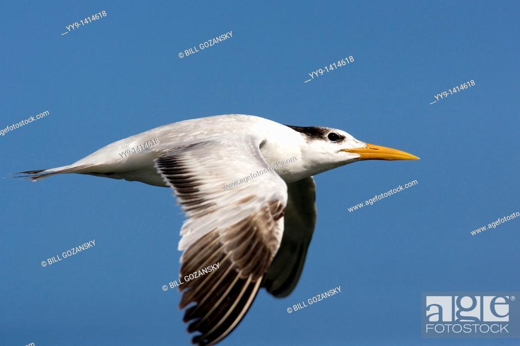 Stock Photo: Royal Tern in Flight - J N  Ding Darling National Wildlife Refuge - Sanibel Island, Florida USA.