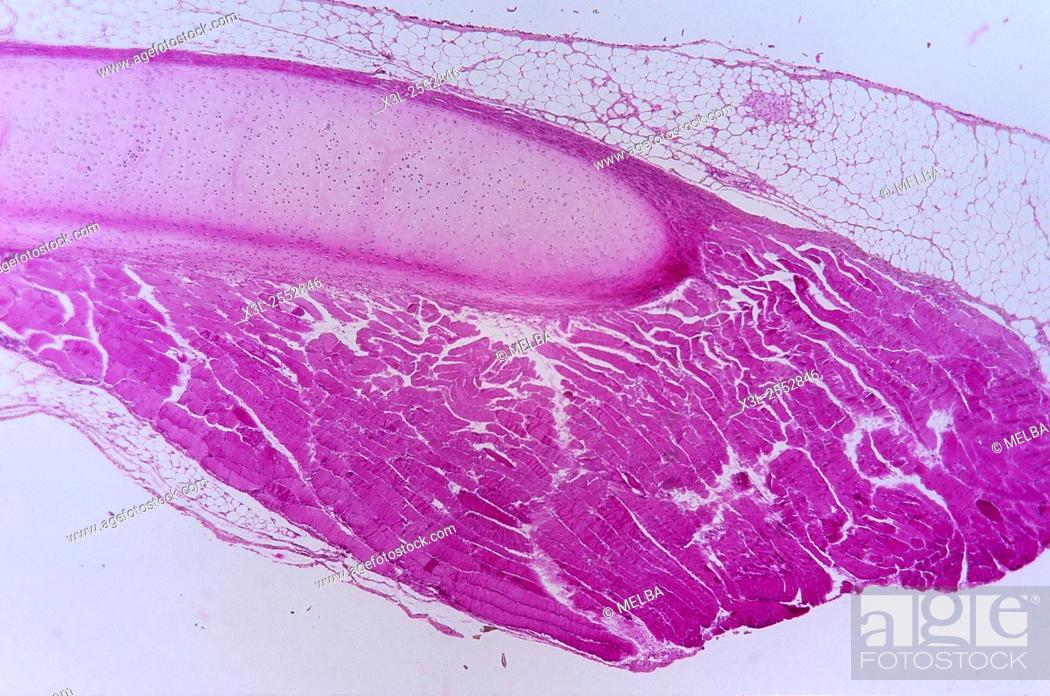 Stock Photo: Hyaline cartilage. Cartilaginous tissue. 9x.
