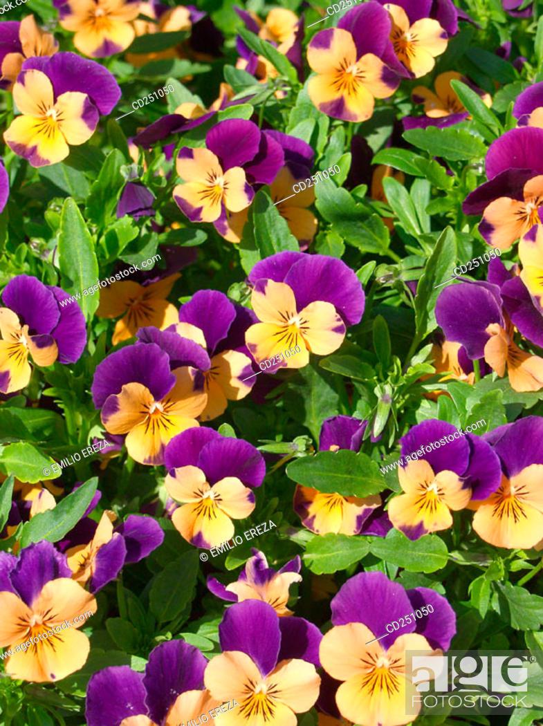 Stock Photo: Pansies (Viola sp.).